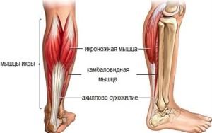 Ахиллово сухожилие (пяточное) является общим для икроножной и камбаловидной мышц, участвуя в подошвенном сгибании стопы